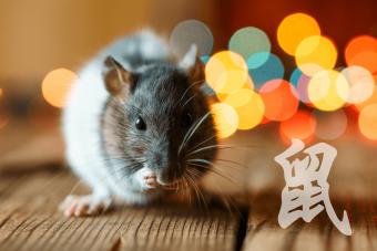 cute rat on wooden background beautiful bokeh