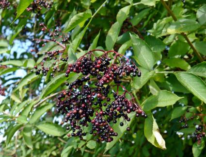 elder tree with berries