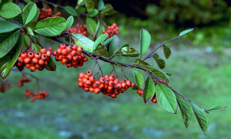 berries from the Rowan tree