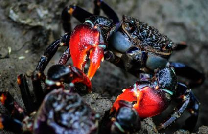 Red claw mud crab