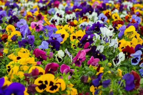 Pansies for Capricorn