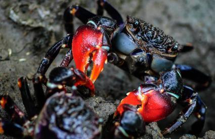 red claw mud crab