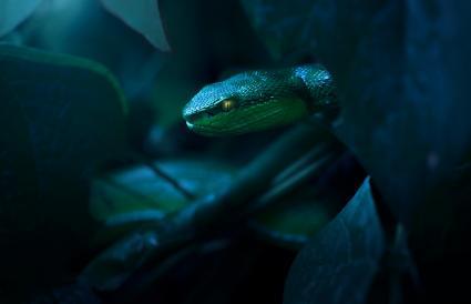 White lipped pit viper