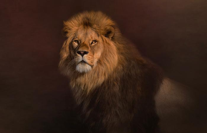 Majestic lion looking at camera