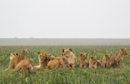 The Marsh Pride of Lions
