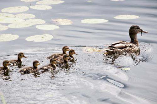 Mother duck and ducklings in water