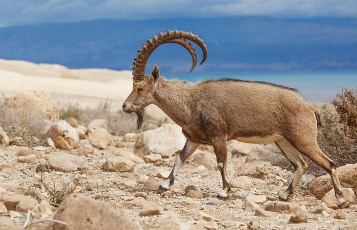 Ibex walking on rocky ground