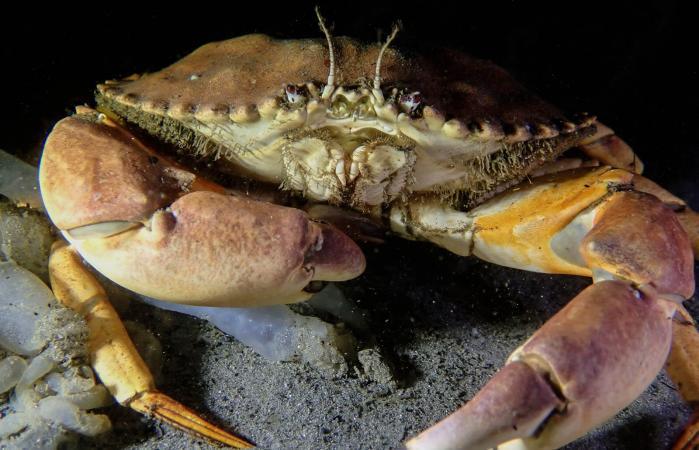 large Rock Crab at night