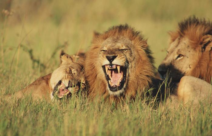 Lions and lioness lying in field