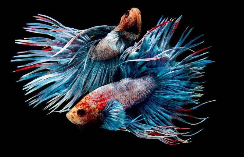 Aquarius love with pisces aries compatibility cusp Pisces Aries