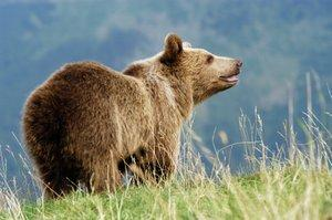 brown bear is a native american astrological sign