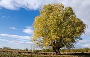 The willow is one of the sacred Celtic trees.