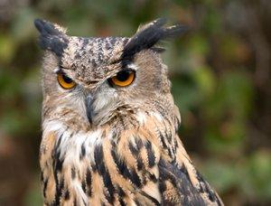 an owl is a native american astrological sign