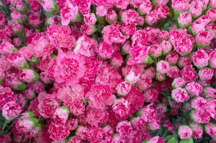 Claveles rosados