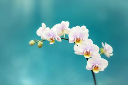 Flores de orquidea