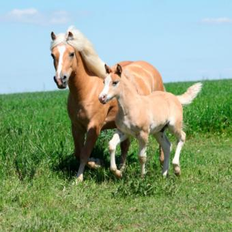 Beautiful haflinger mare with a foal