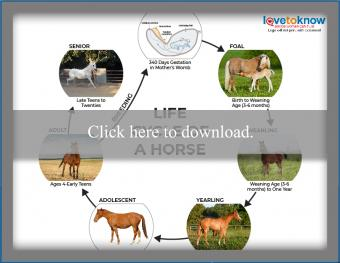 Life Cycle of a Horse