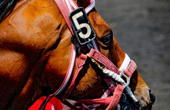 Race Horse Head in Bridle