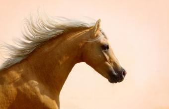 Palomino welsh mountain pony stallion