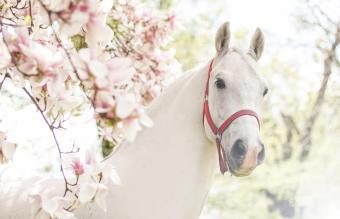 Stallion Zenta