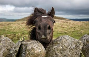 Welsh pony looking over a drystone wall