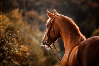 Chestnut horse at sunset