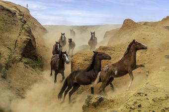 Wild horses galloping in the canyons of Rano Raraku