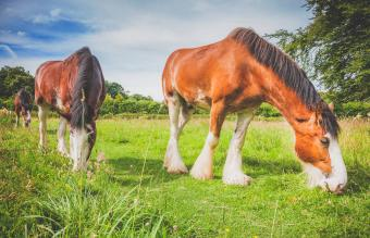 Clydesdale Horses Grazing
