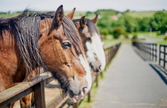 Shire Horse: Overview and Origin of a Distinctive Breed