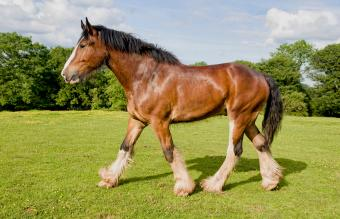 Shire horse trotting in field