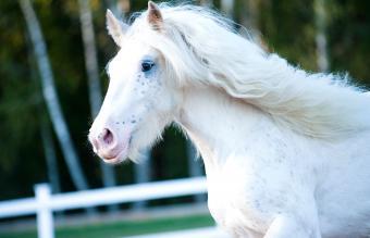 Beautiful white shire horse moving