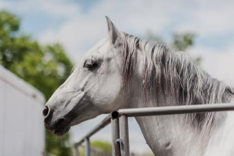 Close-up detail of an Andalusian stallion, horse a with braided mane.