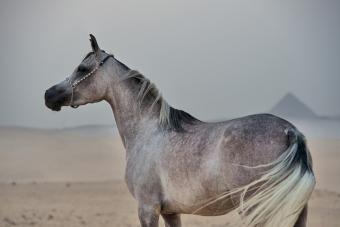 gray purebred Egyptian arabian mare at pyramids background