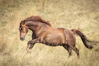 Strong brown horse running