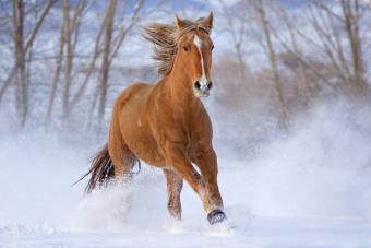 Mustang horse running in the snow