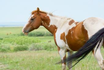 A Paint Horse with Flowing Tail