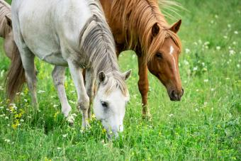 horse grazing grass in pasture
