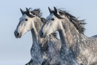 Andalusian Horse Profile: A Brilliant & Influential Breed