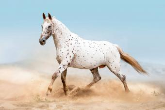 Appaloosa Horse Breed Overview and Origin