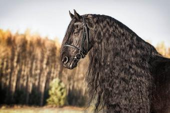 Black Friesian Horse
