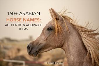Arabian horse in a field