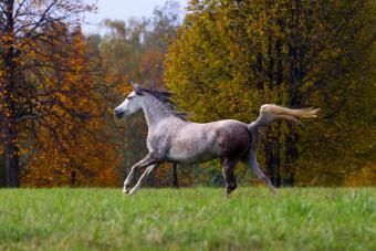Arab purebred horse running free in autumn