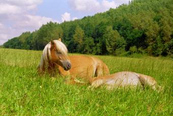 Do Horses Sleep Standing Up? How Horses Really Hit the Hay