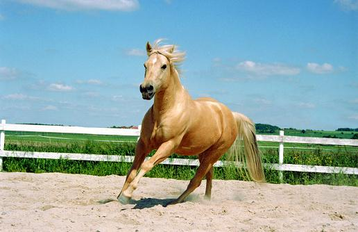 galloping Quarter Horse