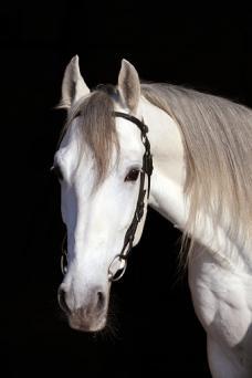Holstein stallion