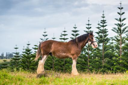 Clydesdale Horse in Norfolk Island