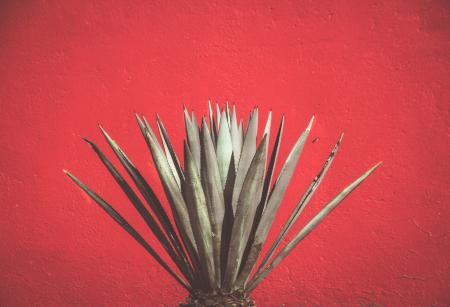 red wall with maguey plant