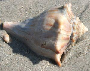 The conch shell makes great items of jewelry