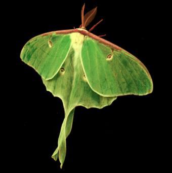Luna Moth Jewelry