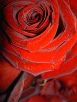 Image of a red velvet rose pin